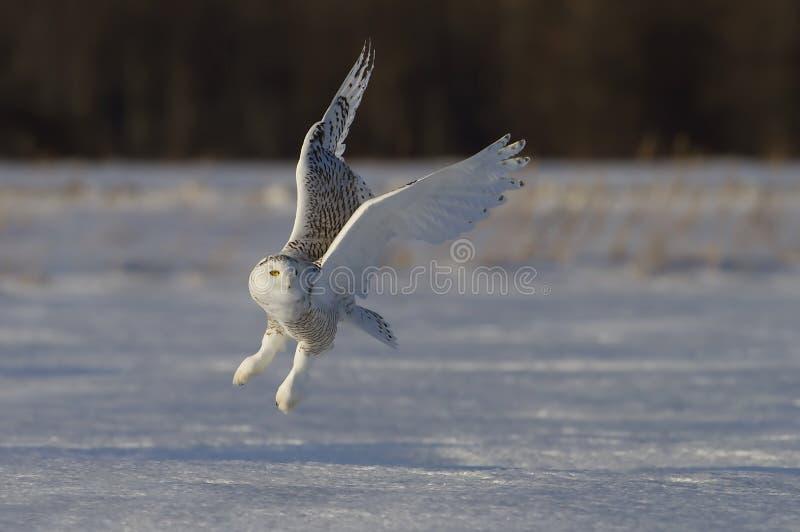 Uma caça nevado da descolagem do scandiacus do bubão da coruja no por do sol sobre um campo coberto de neve em Canadá fotos de stock royalty free