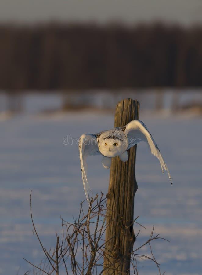 Uma caça nevado da descolagem do scandiacus do bubão da coruja no por do sol sobre um campo coberto de neve em Canadá foto de stock royalty free