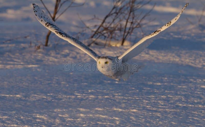 Uma caça nevado da descolagem do scandiacus do bubão da coruja no por do sol sobre um campo coberto de neve em Canadá imagens de stock
