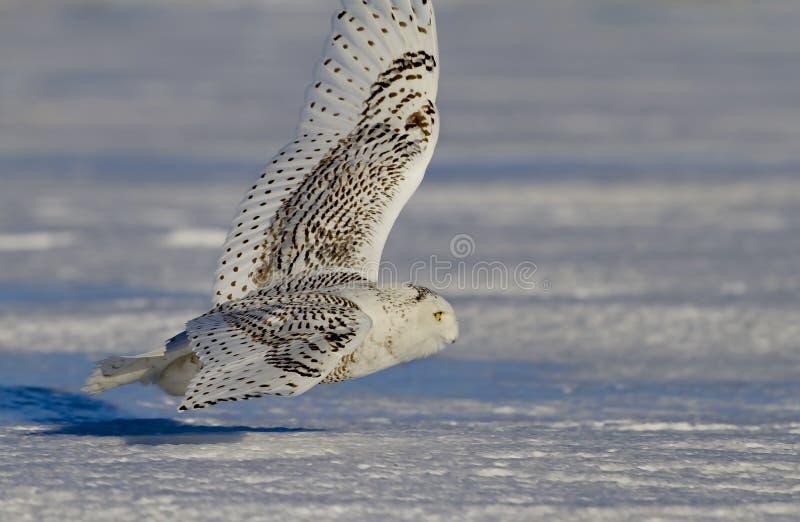 Uma caça nevado da descolagem do scandiacus do bubão da coruja no por do sol sobre um campo coberto de neve em Canadá fotografia de stock royalty free
