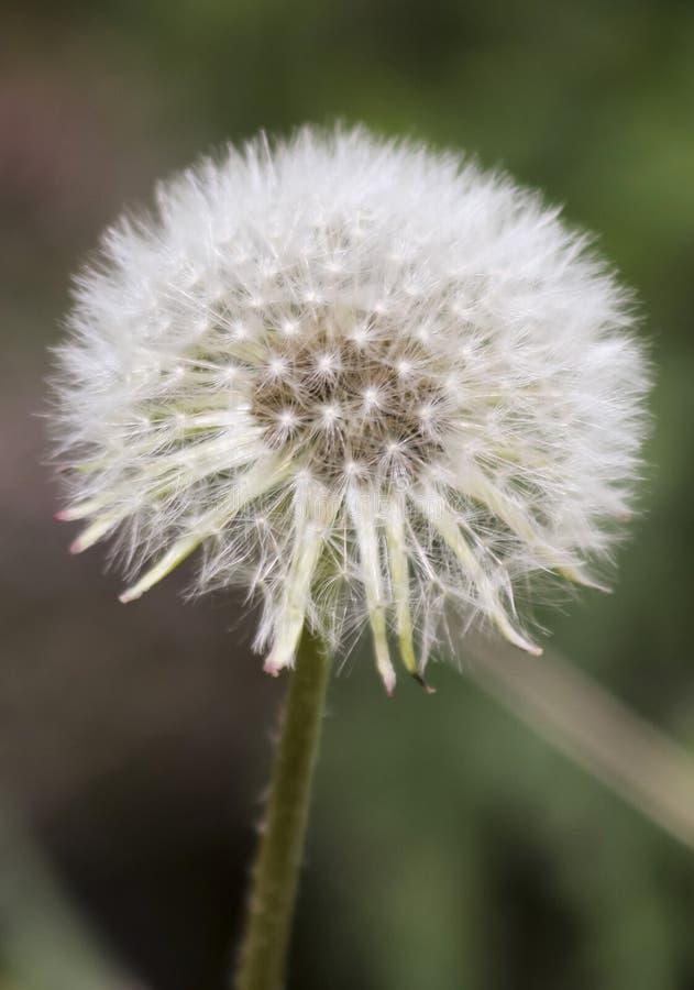 Uma cabeça da semente do dente-de-leão ou um Blowball foto de stock