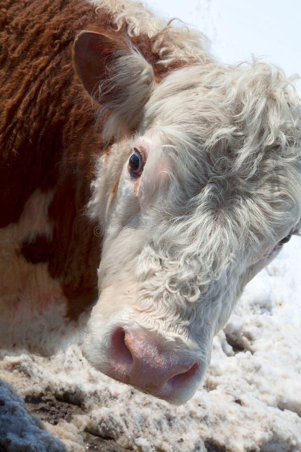 Uma cabeça da vaca pensativa fotografia de stock