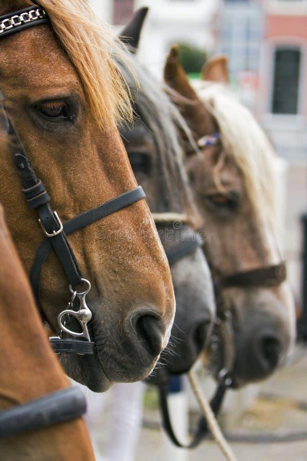 Uma cabeça de cavalo. imagens de stock royalty free