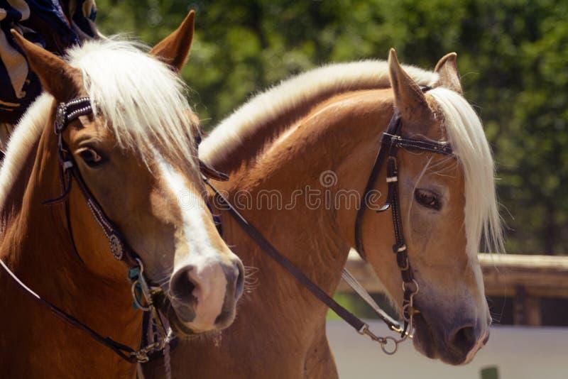 Uma cabeça de cavalo do marrom alaranjado do haflinger com juba branca e a cabeçada marrom que olham o retrato direito imagem de stock