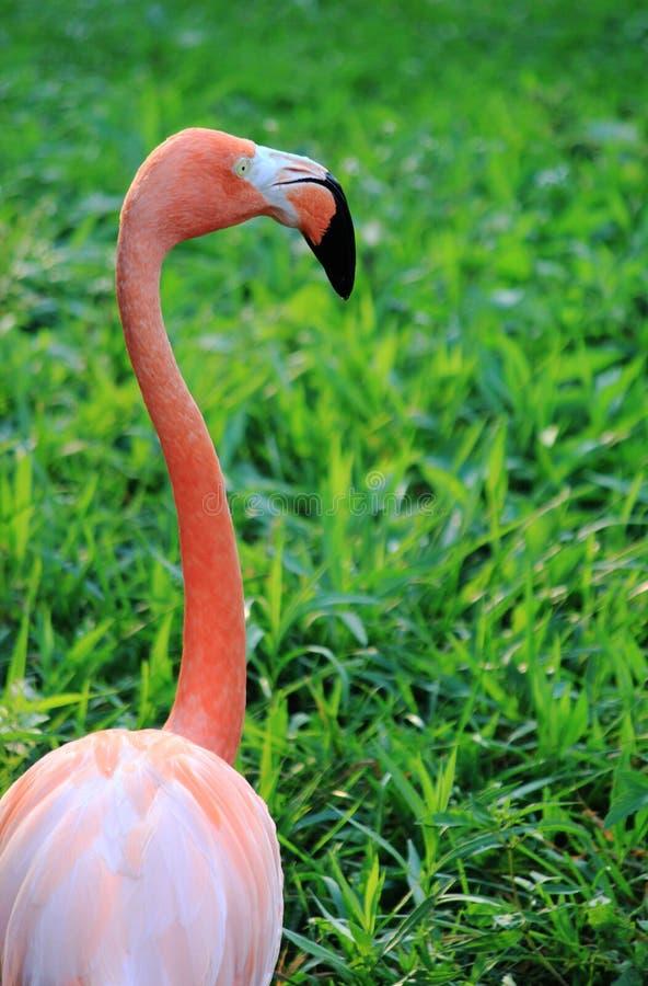 Uma cabeça do flamingo que anda na grama verde imagens de stock