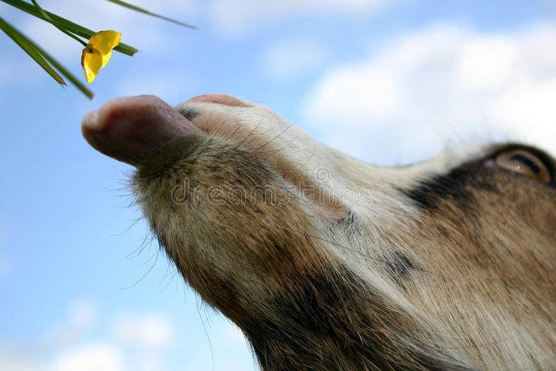 Uma cabra: É hora de comer! imagem de stock