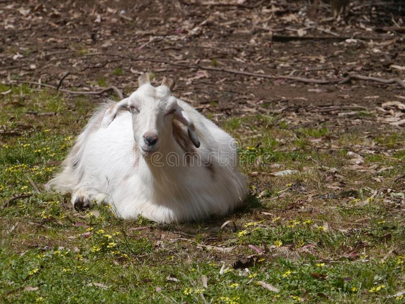 Uma cabra branca com cabelo longo foto de stock