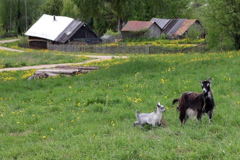 Uma cabra com uma criança que pasta em um prado fotografia de stock royalty free