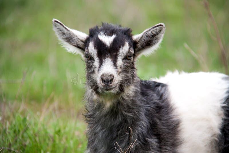 Uma cabra da criança está pastando no close-up da grama fotografia de stock