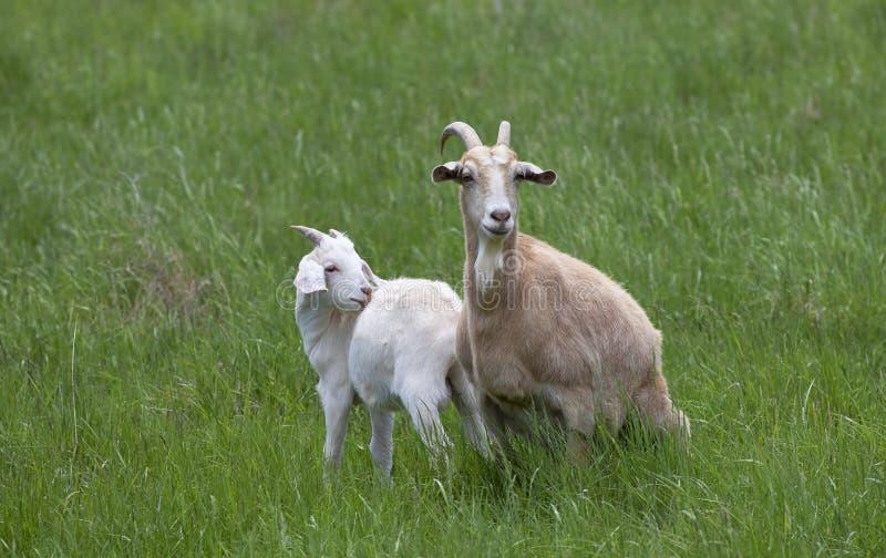 Uma cabra da fêmea e do bebê da cabra que pasta em um campo de grama verde em Canadá foto de stock