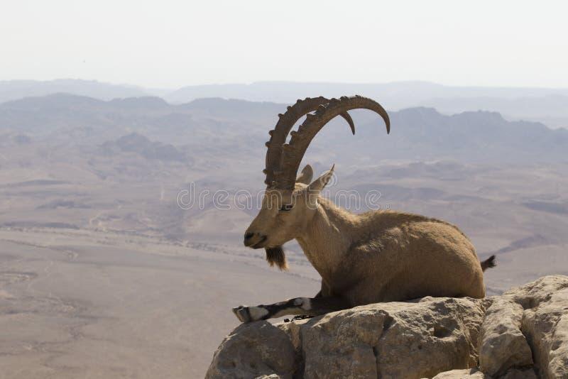 Uma cabra de montanha com os chifres grandes curvados e uma barba encontra-se em uma rocha foto de stock royalty free