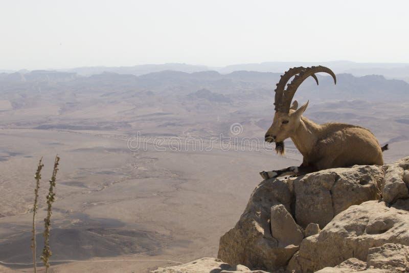 Uma cabra de montanha com os grandes chifres curvados encontra-se em uma rocha perto do foto de stock