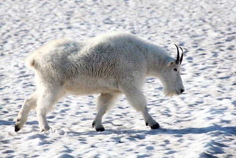 Uma cabra de montanha masculina que striding através da neve imagem de stock