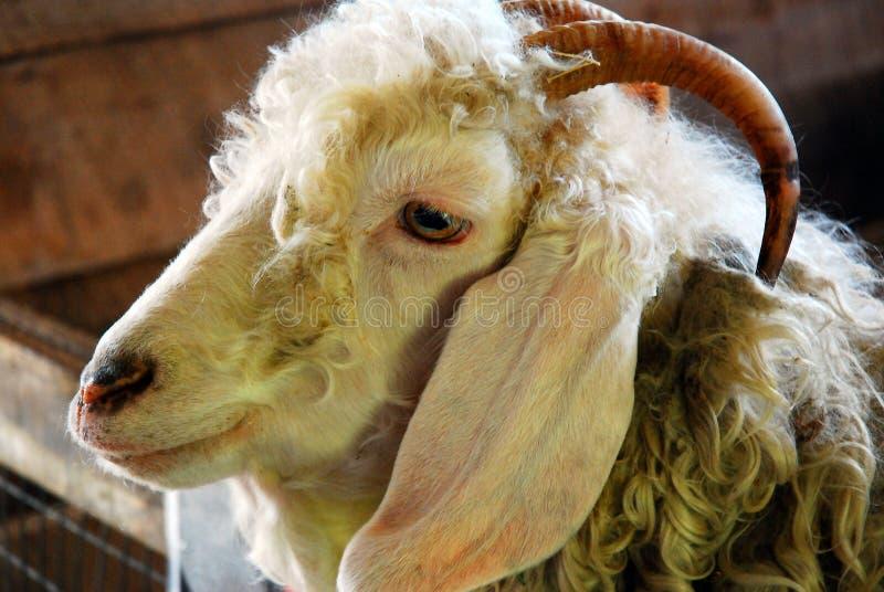 Uma cabra espreita sua cabeça sobre a parede da sua pena imagem de stock royalty free