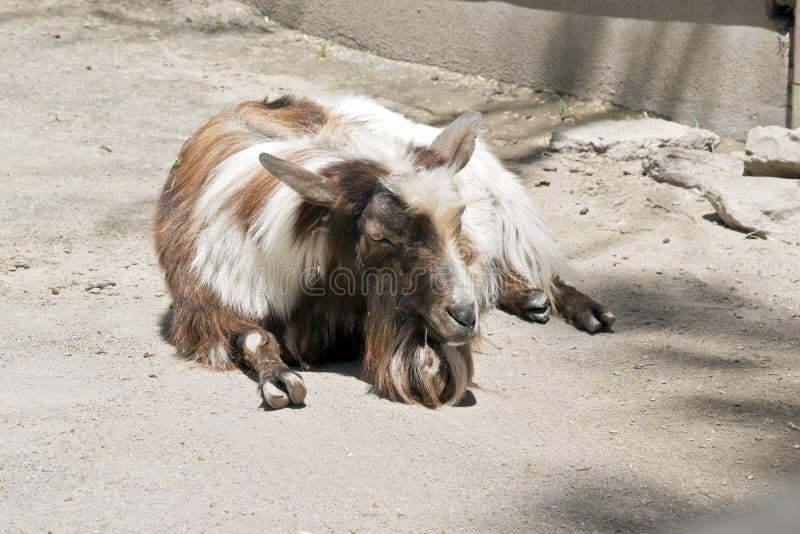 Uma cabra nova fotos de stock