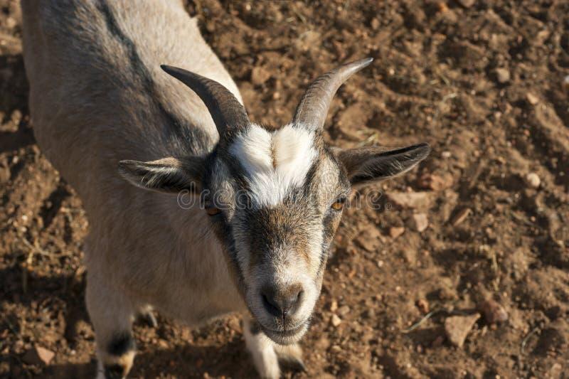 Uma cabra nova que olha a câmera imagens de stock