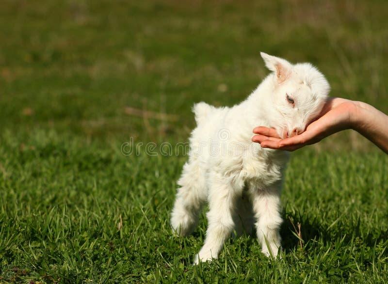 Cabra do bebê imagem de stock