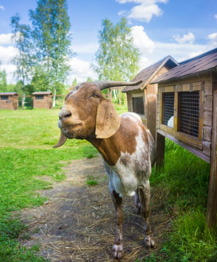 Uma cabra que mastiga a grama em uma exploração agrícola no dia ensolarado do verão imagem de stock