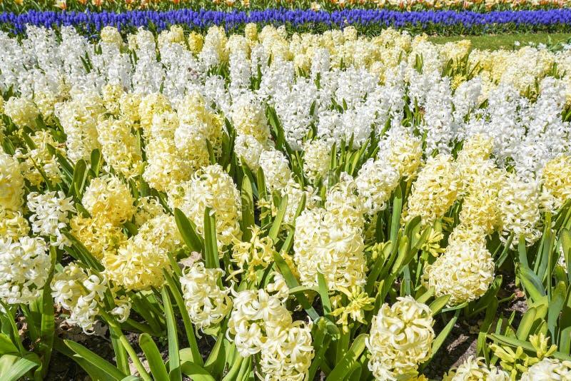 Uma cama de flor com o jacinto amarelo e branco da luz - no primeiro plano e o Muscari azul do jacinto de uva comum no fundo fotos de stock