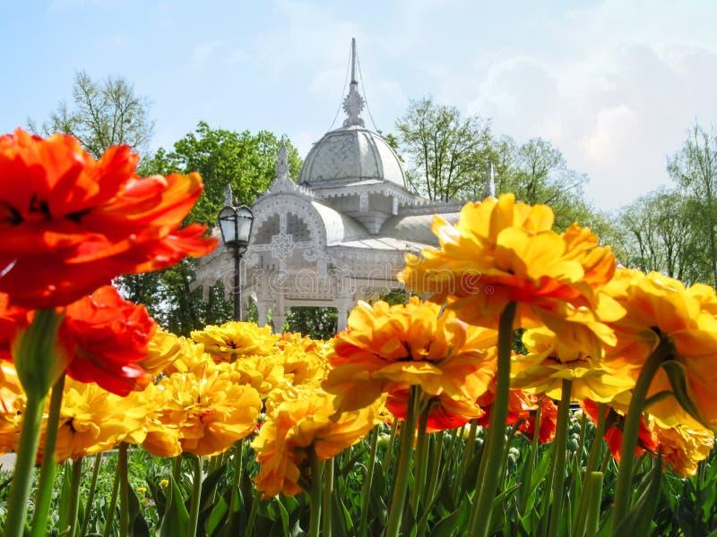 Uma cama de flor de tulipas amarelo-vermelhas brilhantes de terry na perspectiva de um mandril cinzelado velho bonito no quadrado fotografia de stock royalty free