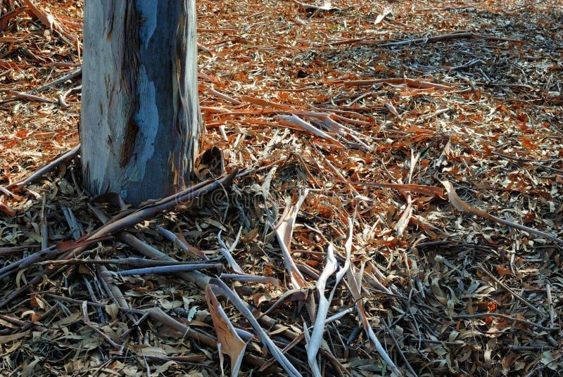 Uma cama grossa das folhas das árvores de eucalipto cerca a base do tronco solitário plantado na terra imagens de stock royalty free