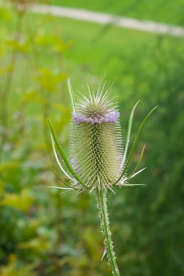 Uma carda do ` s ou uns sativas mais completos do Dipsacus florescem no close-up do canteiro de flores, foco seletivo, DOF raso fotografia de stock
