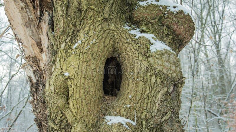Uma cavidade misteriosa em uma árvore maciça foto de stock royalty free