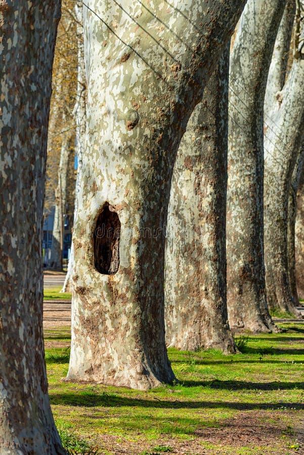 Uma cavidade na base de uma árvore do platanus, parque de árvores planas de Londres fotos de stock