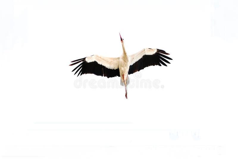 Uma cegonha branca adulta, ciconia do Ciconia, em voo fotos de stock royalty free