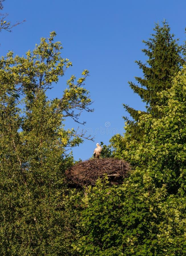 Uma cegonha orgulhosa com pintainhos senta-se em um ninho na região de Kaliningrad, Rússia imagem de stock