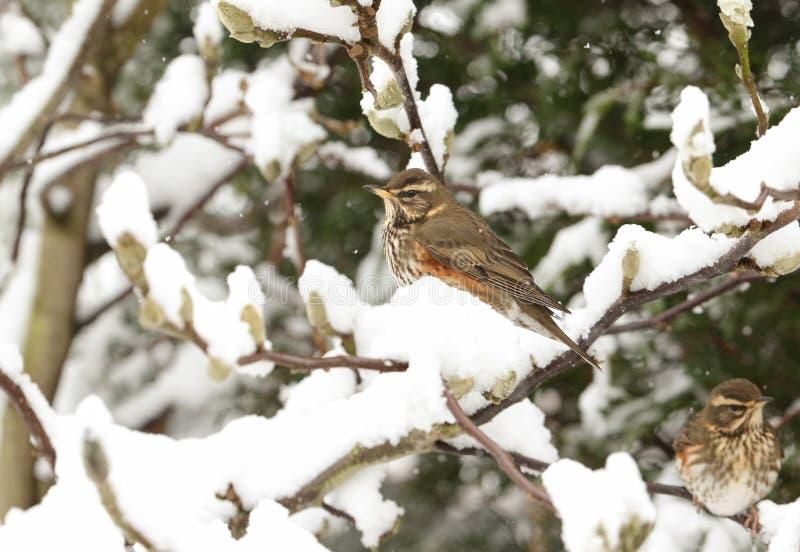 Uma cena do inverno do iliacus do Turdus do tordo pisco empoleirou-se em um ramo de uma árvore da magnólia em uma tempestade de n fotografia de stock royalty free
