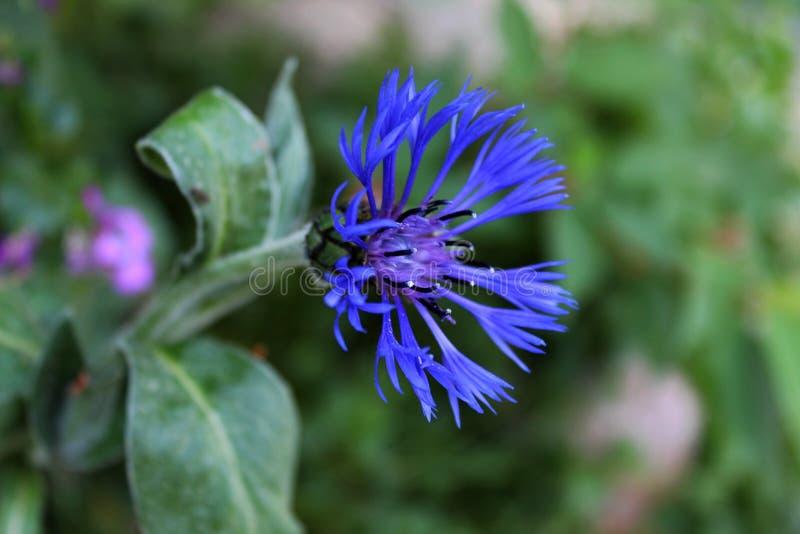 Uma centáurea azul de sorriso bonita fotografia de stock royalty free