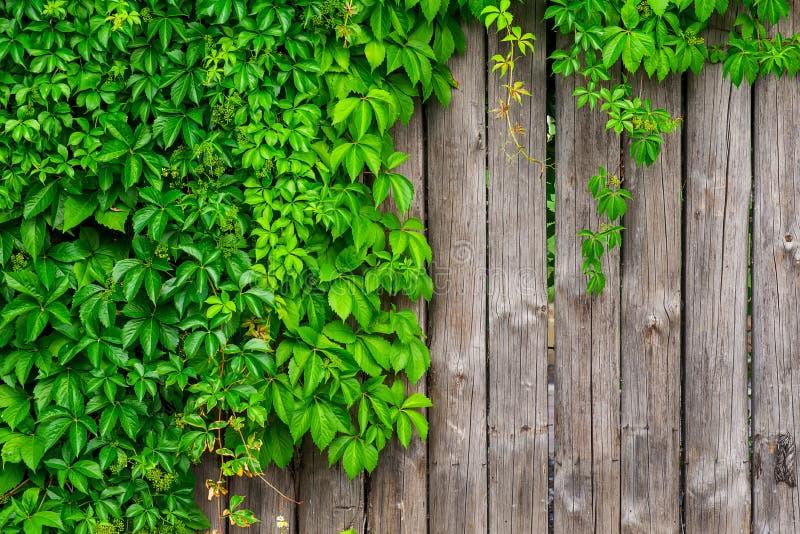 Uma cerca feita da madeira com a hera encaracolado das uvas selvagens imagens de stock royalty free