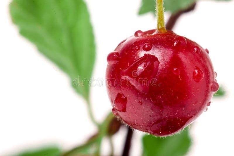 Uma cereja felted no fundo do branco do ramo imagem de stock royalty free