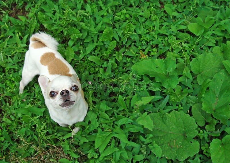 Uma chihuahua pequena da raça do cão fotografia de stock royalty free