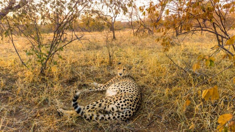 Uma chita no país do arbusto de África do Sul fotografia de stock royalty free