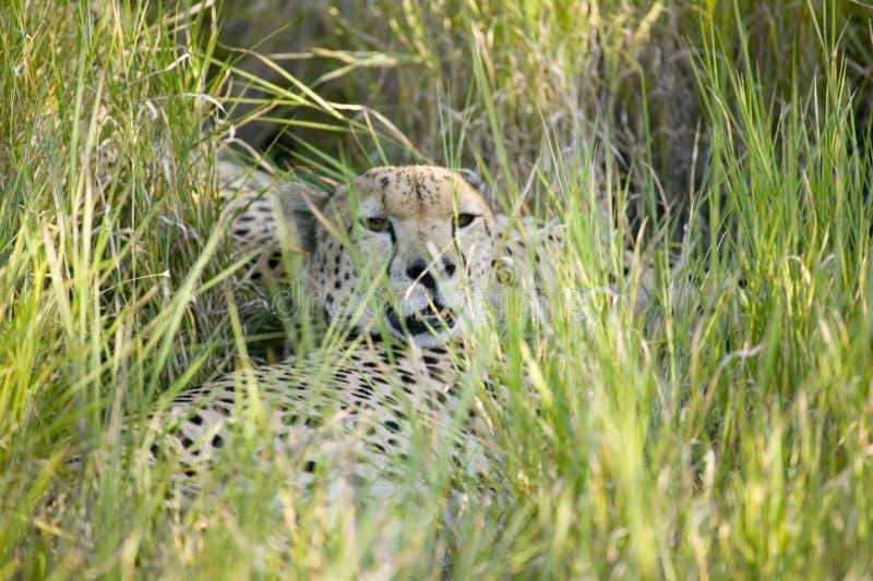 Uma chita senta dentro profundamente - a grama verde da tutela dos animais selvagens de Lewa, Kenya norte, África foto de stock