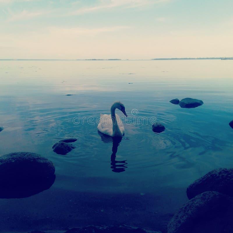 Uma cisne imagem de stock royalty free