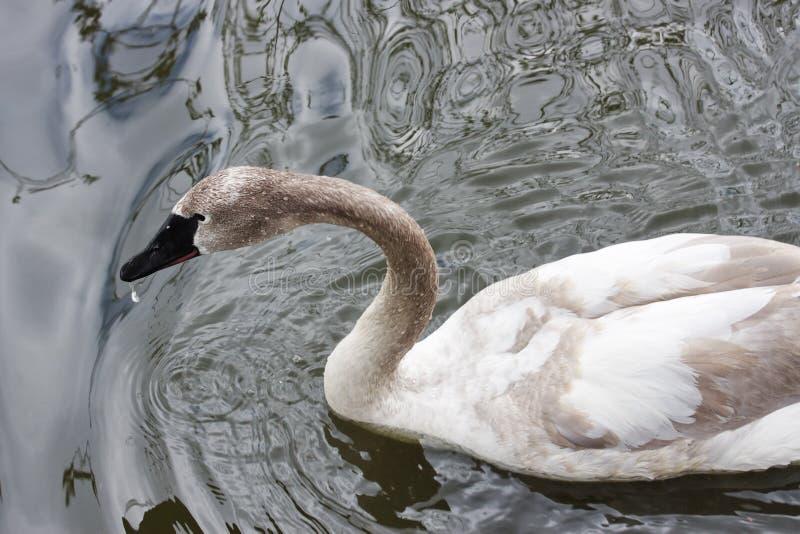 Uma cisne branca está na lagoa do jardim zoológico de Moscovo imagem de stock