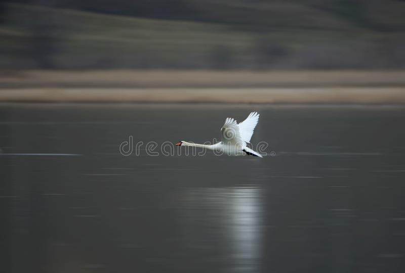 Uma cisne branca voa rapidamente sobre a água congelada fotografia de stock