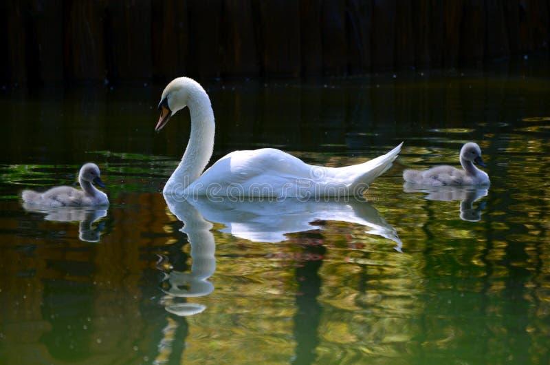 Uma cisne com bebês está nadando no lago da cidade fotos de stock