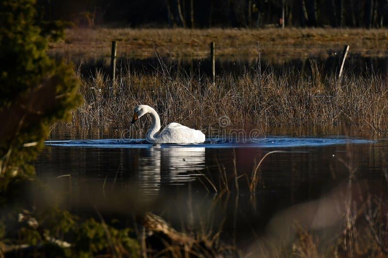 Uma cisne de whooper bonita, cygnus do Cygnus em um lugar quieto em um rio inundado fotos de stock