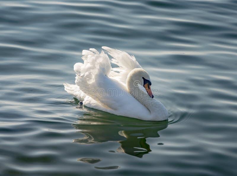 Uma cisne em um lago imagens de stock