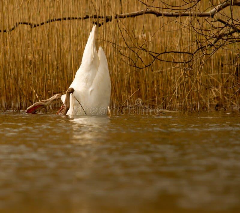 Uma cisne está comendo foto de stock
