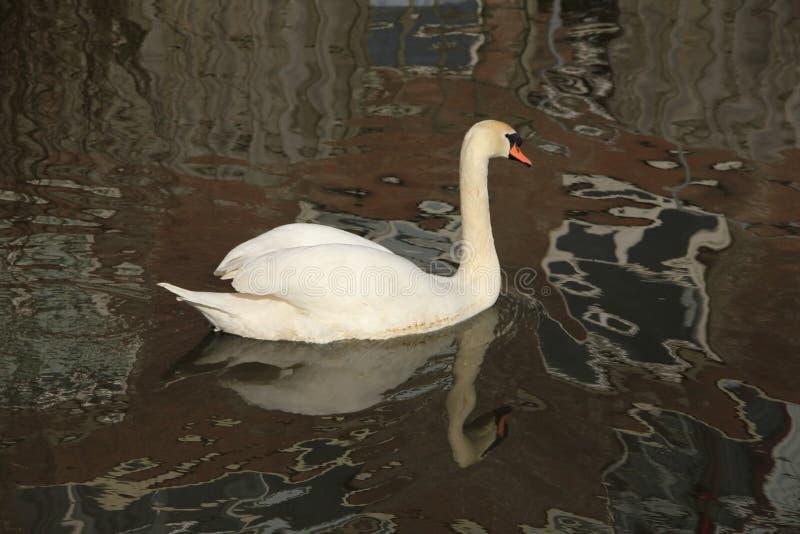 Uma cisne na lagoa na mola e nas reflexões na água fotos de stock royalty free