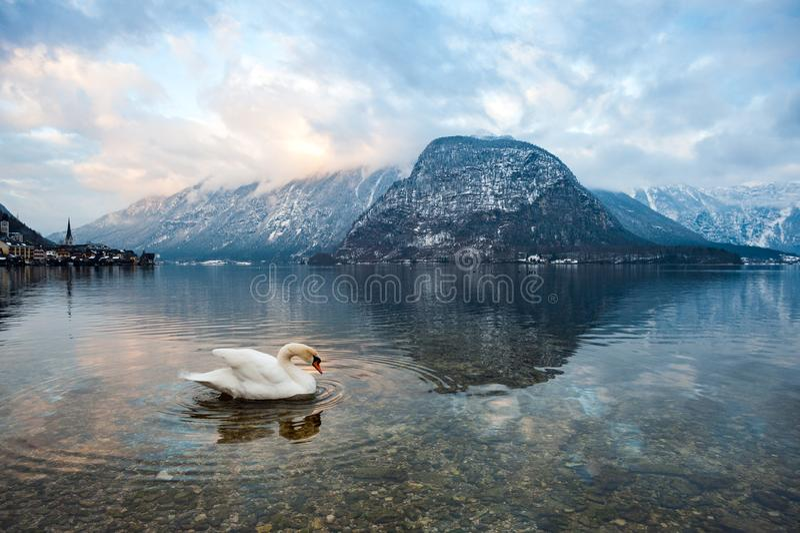 Uma cisne no lago de Hallstatt Áustria imagem de stock