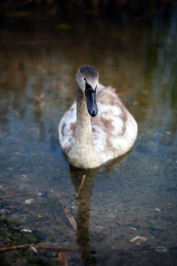 Uma cisne nova em uma caminhada imagem de stock