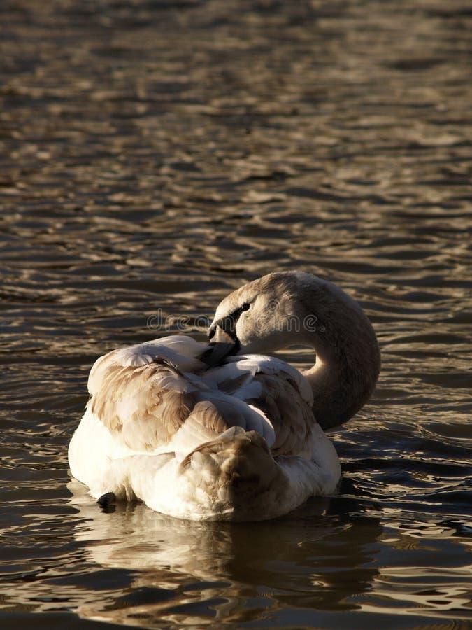 Download Uma Cisne Que Ruffling Penas Imagem de Stock - Imagem de marrom, flutuar: 12803275