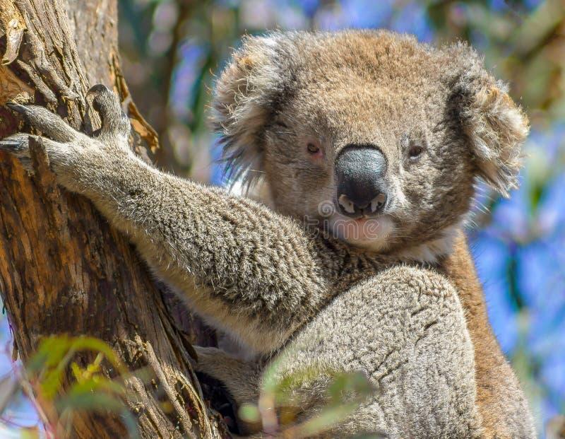 Uma coala bonito em uma árvore, ilha do raymand, Austrália imagem de stock royalty free