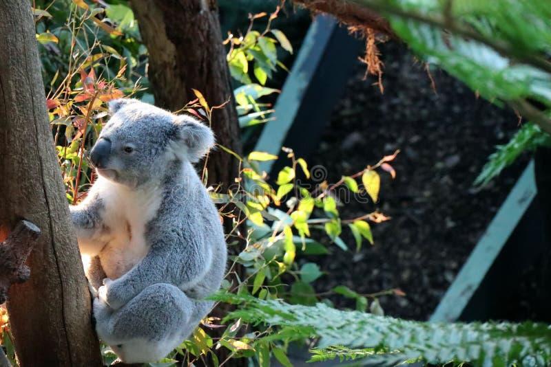 uma coala no jardim zoológico Sydney de Tazonga imagem de stock royalty free